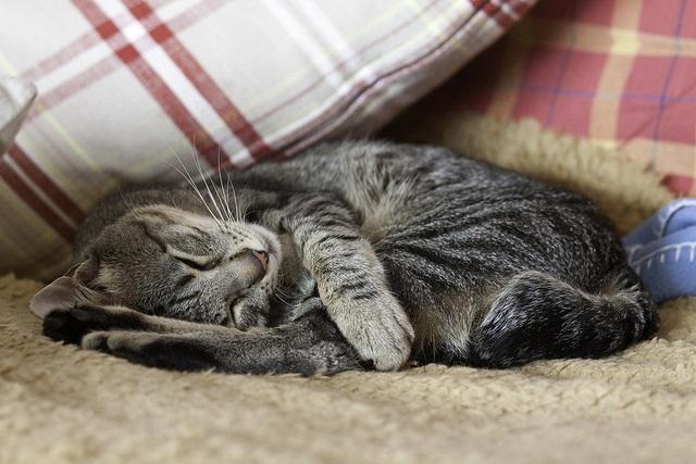 siesta gato